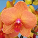 Phalaenopsis-Lee 1019