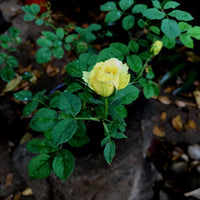 Lemon Drop-Miniature Rose Plants myBageecha - myBageecha