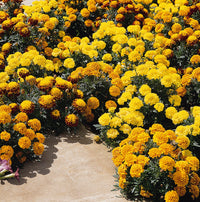 Boy O' Boy Mix Marigolds Seeds myBageecha - myBageecha