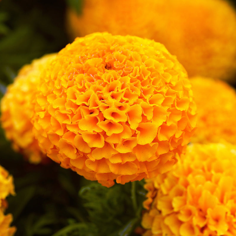 Taishan Orange Marigolds Seeds myBageecha - myBageecha