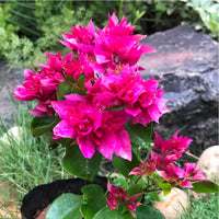 Bougainvillea 'Mahara Magic' Red