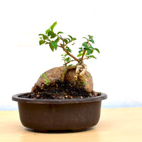 Bonsai Malphigia Mame with Rock