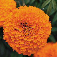 Marigold Garland Orange Seeds myBageecha - myBageecha