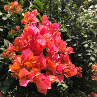 Bougainvillea 'Orange Glory'