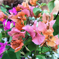 Bougainvillea 'Orange King' Plants myBageecha - myBageecha