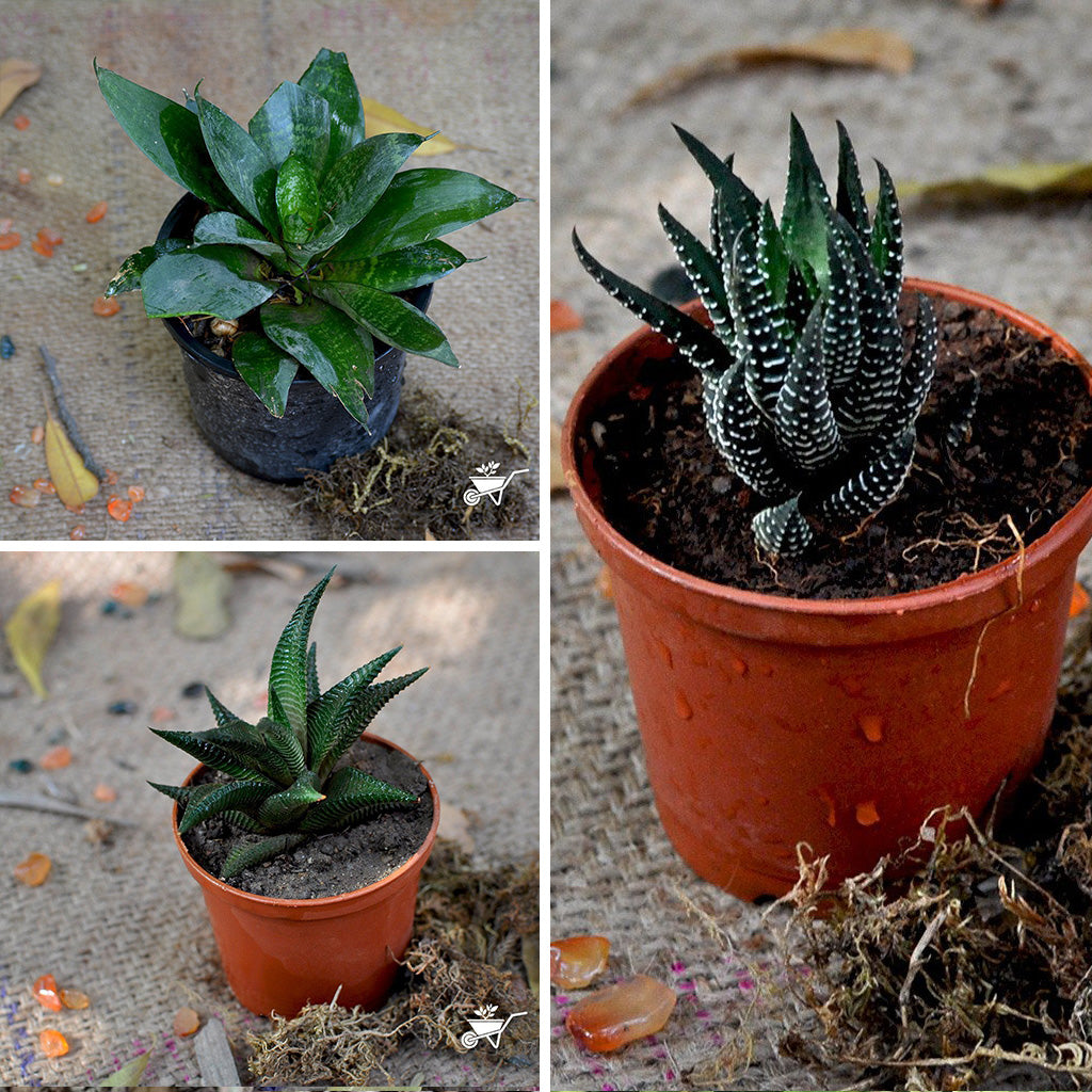 pack of 3 office low maintainence desk plants mybageecha