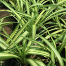 Variegated Dwarf Screw Pine Plants myBageecha - myBageecha