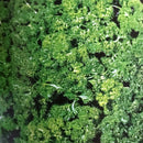 Organic Curled Parsley Seeds myBageecha - myBageecha