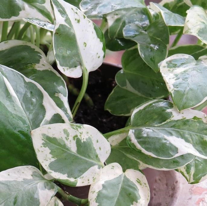 Pearls and Jade Pothos Plants myBageecha - myBageecha