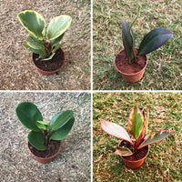 Assorted Peperomia Plants