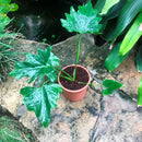 Philodendron Xanadu 'Green'