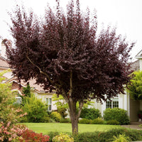 Prunus Cerasifera - Purple Leaf Plum Tree'
