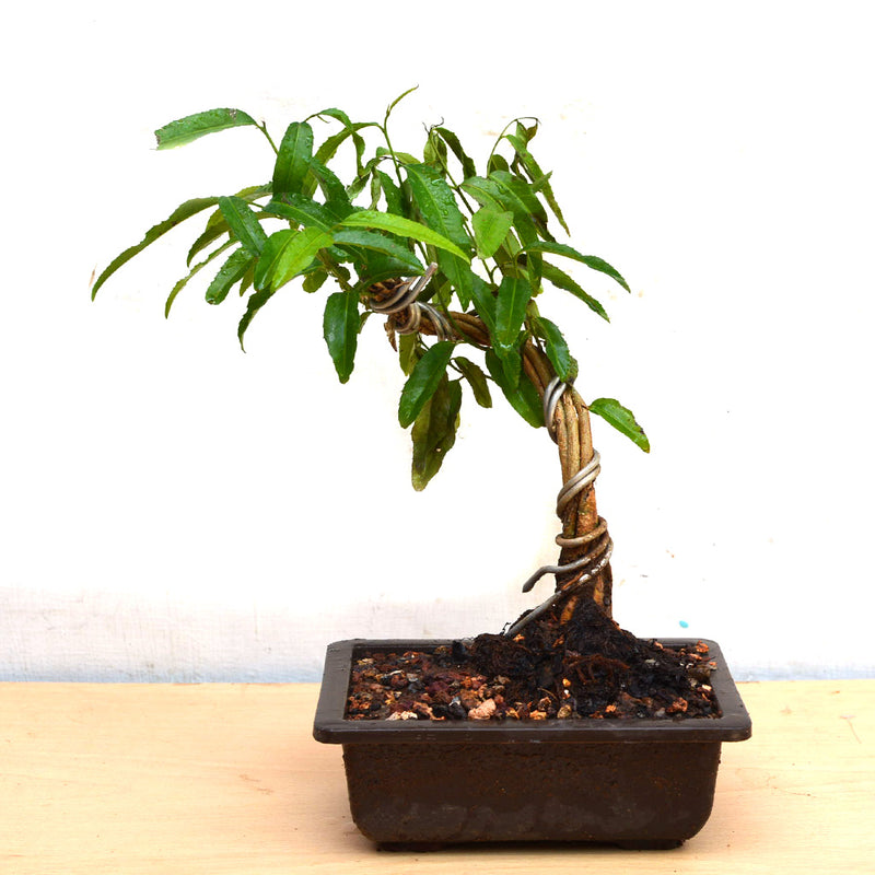 Bonsai Putranjiva