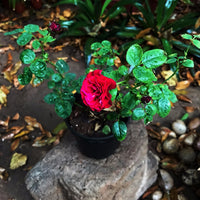 Red Beauty-Miniature Rose Plants myBageecha - myBageecha