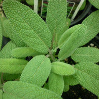 Garden Sage _ Salvia officinalis