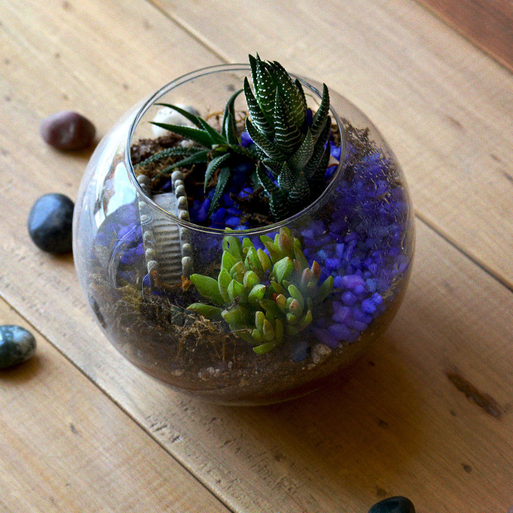 Sea of Haworthia Terrarium Kit Decor myBageecha - myBageecha