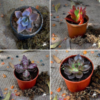 Assorted Set of 4 Colourful Succulent Plants