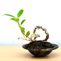 Bonsai TigerBark Mame