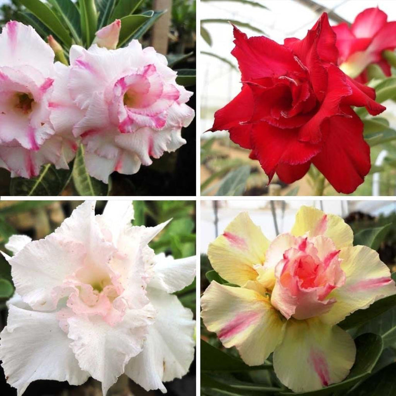 Assorted Adeniums Florance + Joreon Porn +  Valentine Rose + White Angle (Pack Of 4)