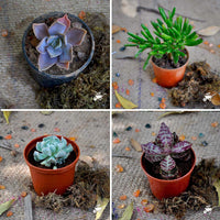 Pack of 4 Tiny Window Succulent Plants