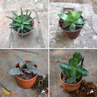 Pack of 4 Cute Shade Loving Tabletop Plants