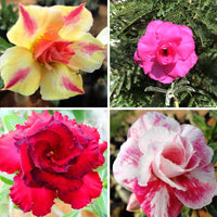 Assorted Adeniums Golden Radiance + Marilyn Monroe +Hussade Pink + Rome (Pack of 4)