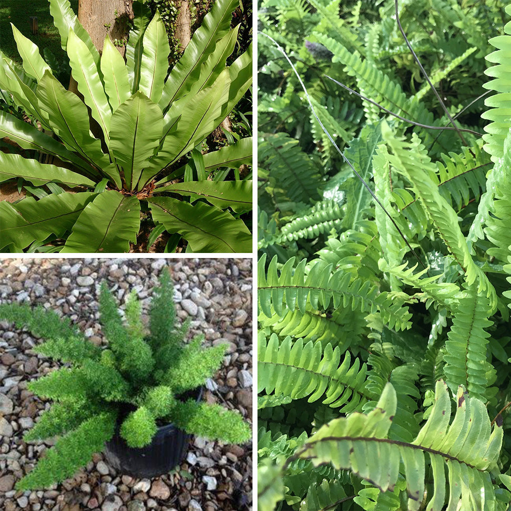 Pack of 3 Easy to Maintain Ferns