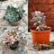 Pack Of Assorted Sedeveria Succulent Plants