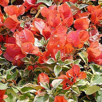 Bougainvillea 'Orange Ice'