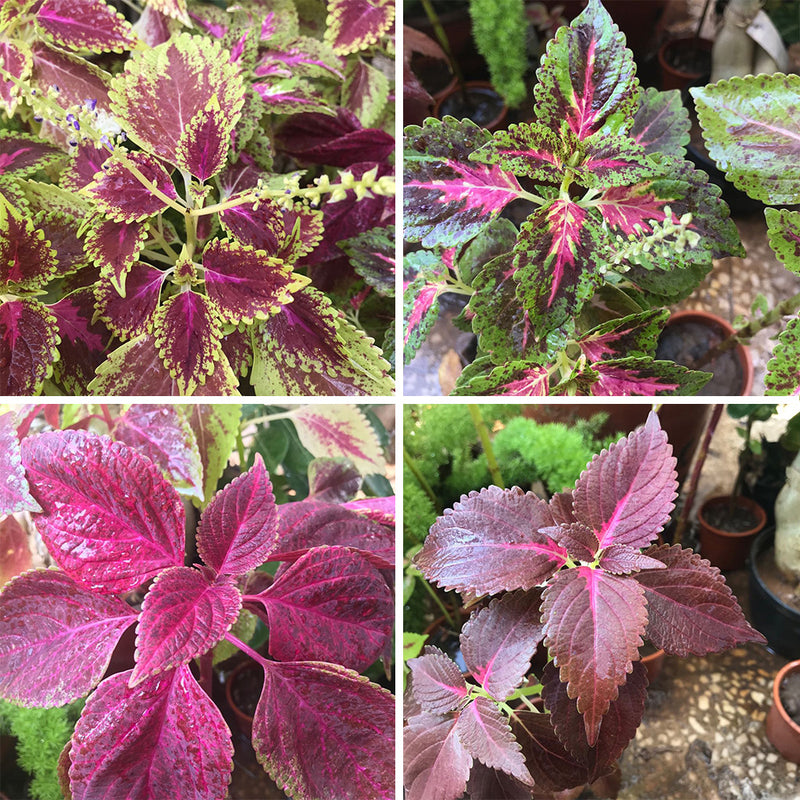 Set of 4 Assorted Coleus Outdoor Plants