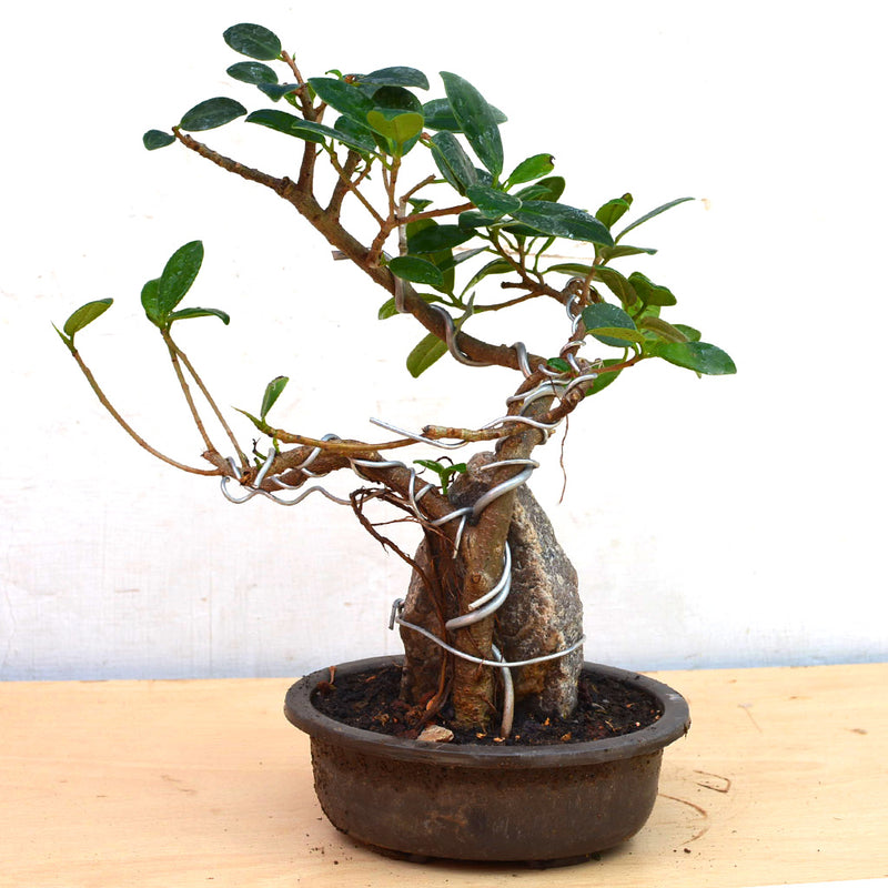 Bonsai Long Island Round with Rock