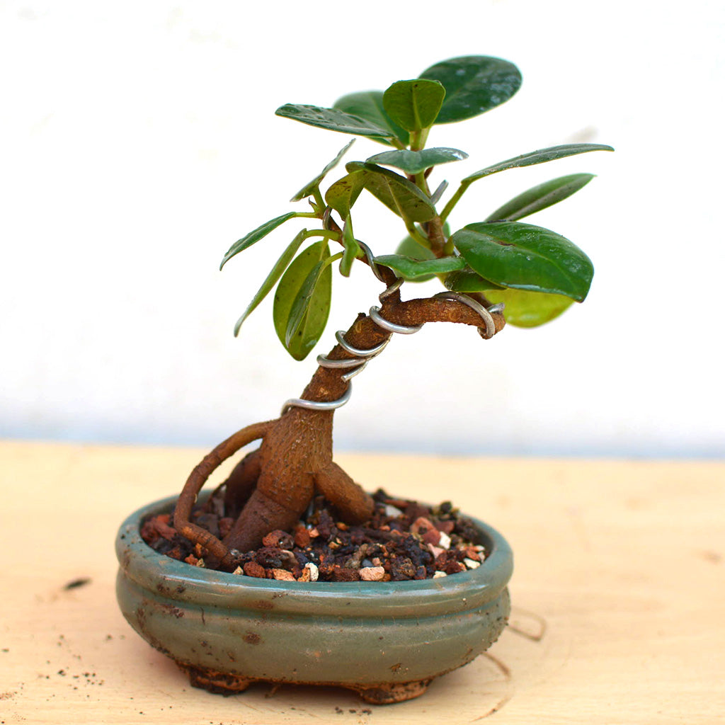 Bonsai Long Island Mame Mybageecha