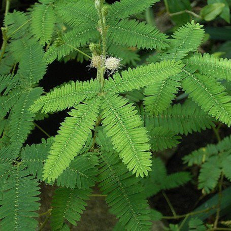 Touch-Me-Not -Mimosa pudica Linn