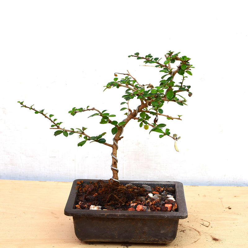 Bonsai Mini Carmona Microphylla