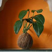 Kokedama Moss Balls - Money Plant King