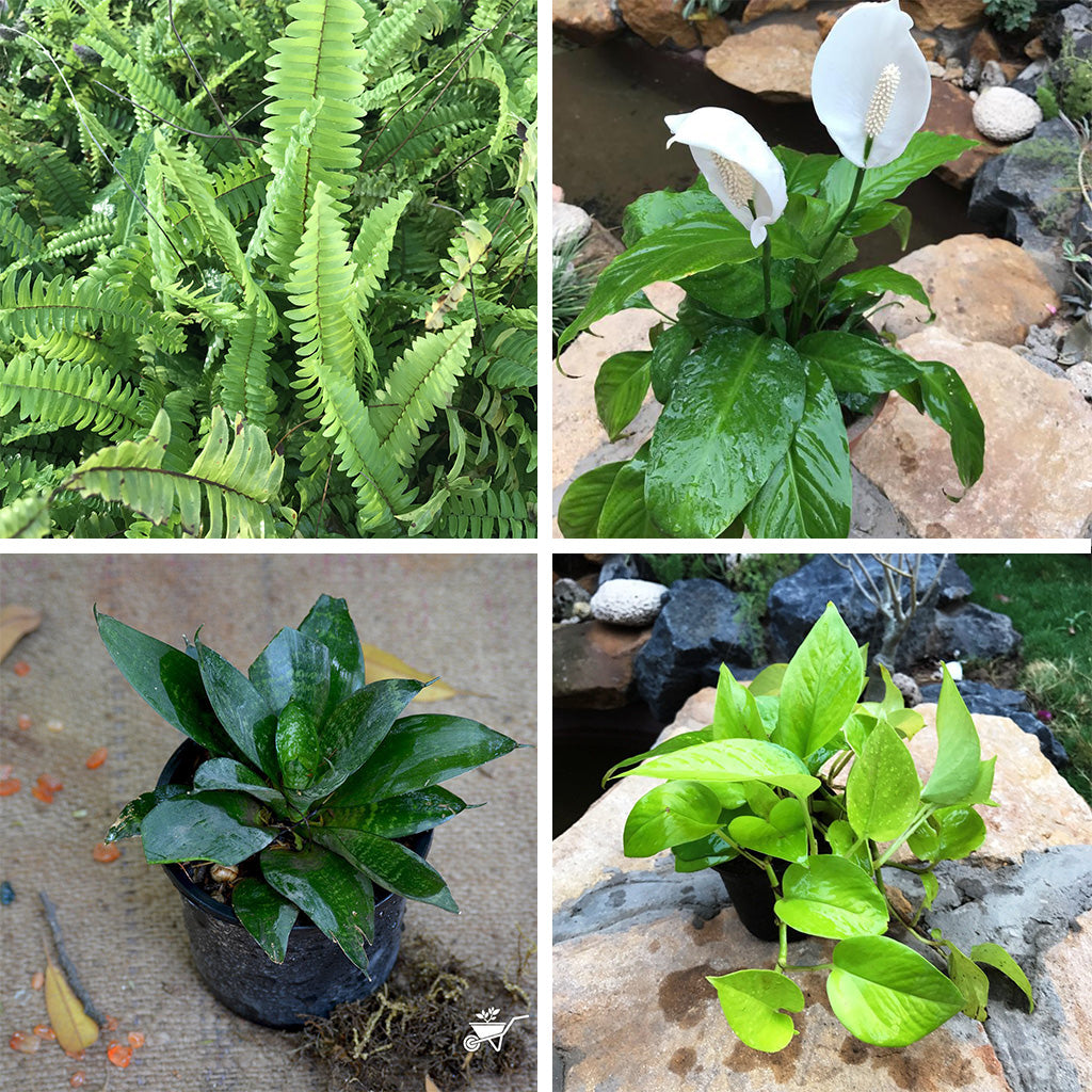 Pack of 4 Assorted Plants for Bedroom - Boston Fern, Peace Lily, Sansevieria Hahnii & Neon Pothos