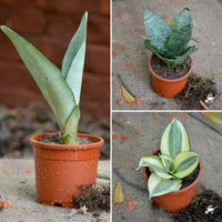 Assorted Air Purifier Indoor Sansevieria Plants