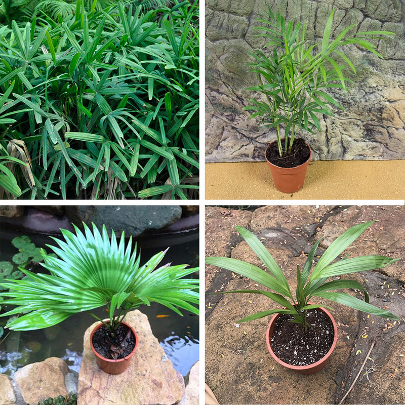 Pack of 4 Assorted Palms - Areca, Chamedora, Fountain & Rhapis Palm