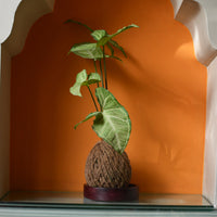 Kokedama Moss Ball - Syngonium Cream Allusion