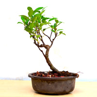 Bonsai TigerBark