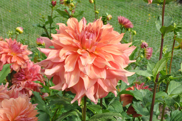 Belle of Barmera - Dahlia Tuber NEW