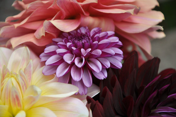 Hugs and Kisses - Dahlia Tuber