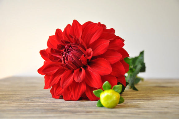 American Beauty - Dahlia Tuber NEW