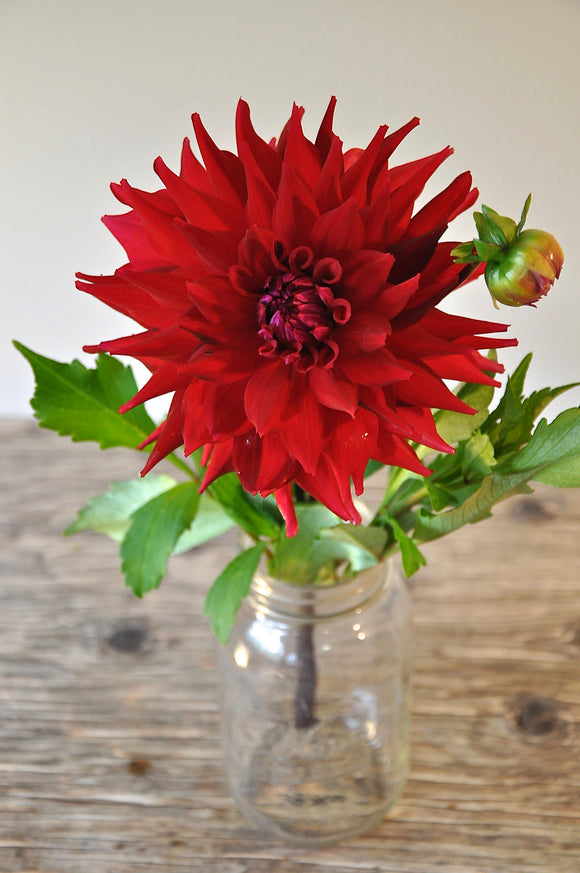 Red with Burgundy Stripes - Dahlia Tuber NEW