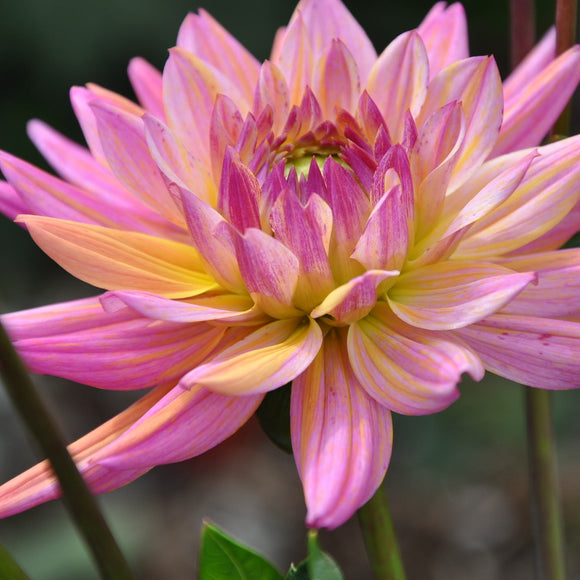 Star Mix - Dahlia Tuber NEW