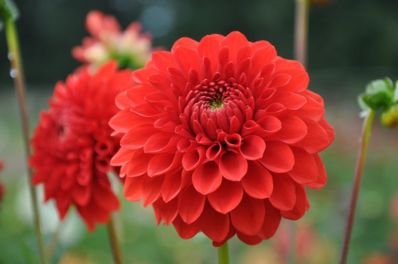 Lollipop- Dahlia Tuber