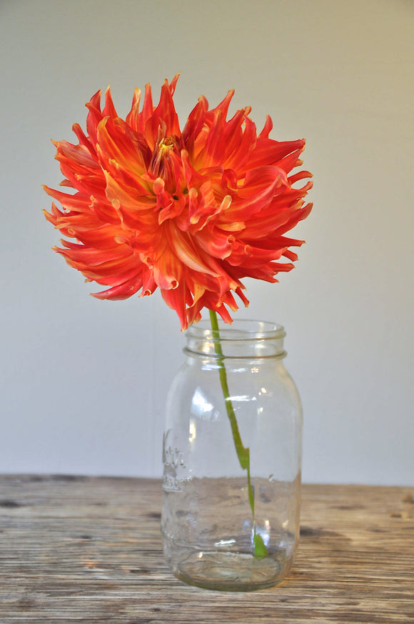 Fired Up - Dahlia Tuber NEW