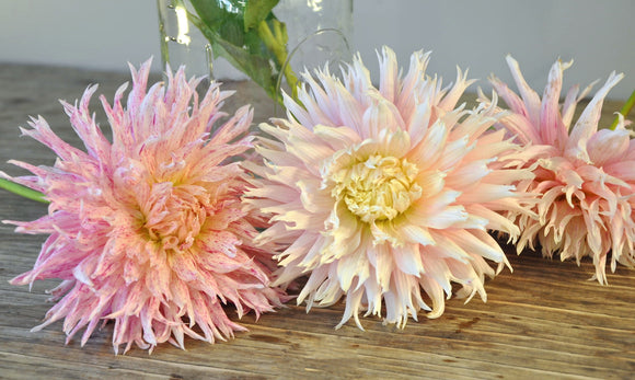 Hollyhill Candystripe - Dahlia Tuber NEW