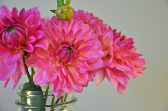 Lyn's Pink - Dahlia Tuber NEW