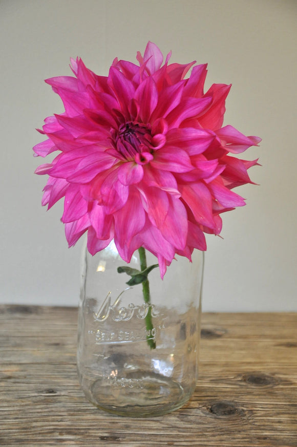 Pink Mystery - Dahlia Tuber